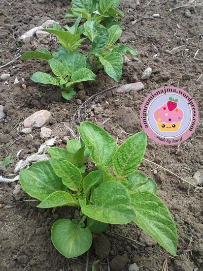patatas amigurumis najma