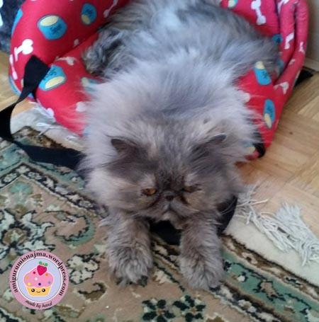 pandora persian cat