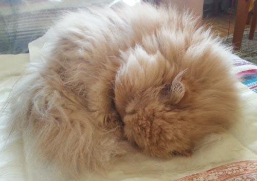 tuchi gato persa