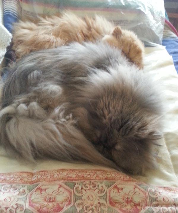 tuchi pandora persian cats