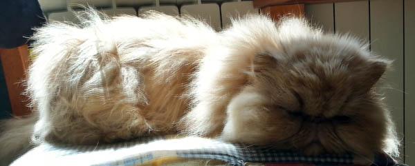tuchi persian cat