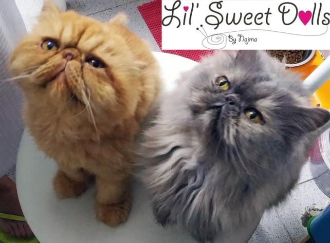 roco y pandora gato persa